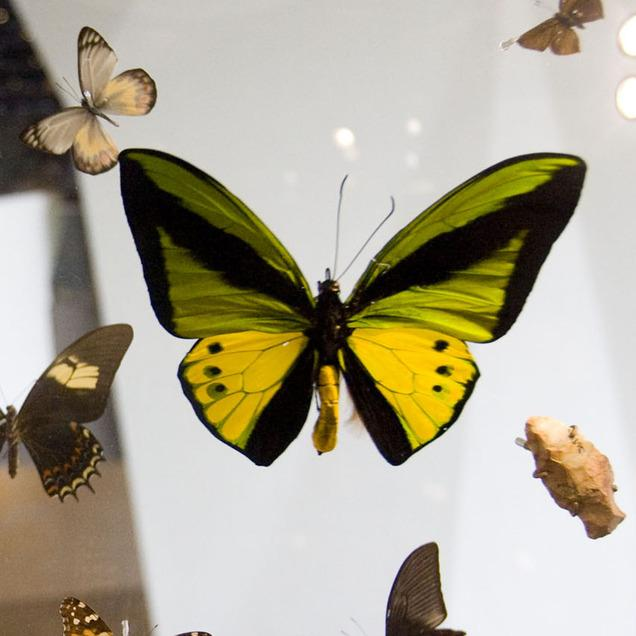 Butterfly Collection At American Museum Of Natural History